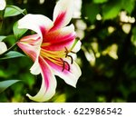 Beautiful Lily Flower In The...