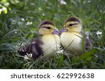Two Small Cute Duckling Sittin...
