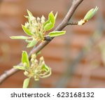 buds of pear tree. young green... | Shutterstock . vector #623168132