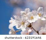 cherry blossoms | Shutterstock . vector #623191646