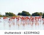 large flock of flamingos near... | Shutterstock . vector #623394062