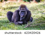 Gorilla Resting In The Shade O...