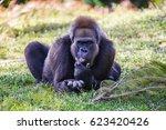 Gorilla Resting In The Shade O...