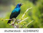 a greater blue eared starling | Shutterstock . vector #623484692