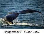 humpback whale tail slapping... | Shutterstock . vector #623543552