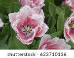 Tulips And Tulip Fields In...