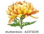 Beautiful Chrysanthemum...