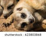 the meerkat or suricate ... | Shutterstock . vector #623803868