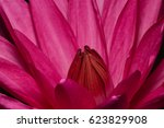 close up image of a lotus red | Shutterstock . vector #623829908