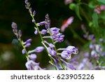Blooming Hostas Plants In The...
