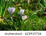 beautiful  purple and white...   Shutterstock . vector #623915726