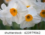 Narcissus 'geranium' Or White...