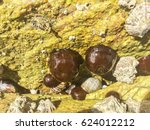 Small photo of Group of beadlet anemones or sea tomatoes, Actinia equina, growing on intertidal coastal rocks in Galicia, Spain