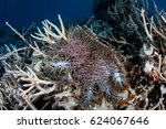 Small photo of A Crown-of-Thorns sea star (Acanthaster planci) feeds on staghorn corals growing in the Republic of Palau. This echinoderm can destroy huge swaths of coral.