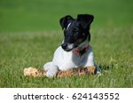 Smooth Haired Fox Terrier