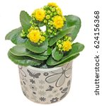 Yellow Calandiva Ornamental...