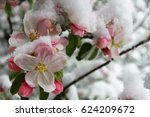 Blossoms Of An Flowering Apple...