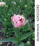 Pink terry tulip in spring flower bed - stock photo