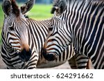 Two Zebras Look At Each Other