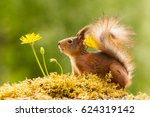 Stock photo  close up of red squirrel standing with yellow flowers looking away 624319142