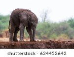 A New Born Baby Elephant Stand...
