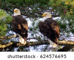 Pair Of Bald Eagles In Tree...