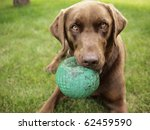 A Chocolate Labrador Holds A...