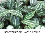 fresh and green leaf plant for... | Shutterstock . vector #624642416