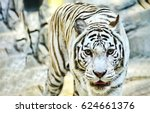 white tiger portrait | Shutterstock . vector #624661376