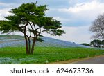 A Lone Pine Tree Stands In A...