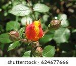 rose flower   | Shutterstock . vector #624677666