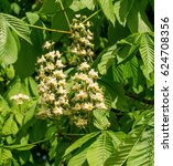 Small photo of Spring blossoming chestnut flowers. Aesculus hippocastanum