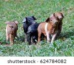pigs from cuba | Shutterstock . vector #624784082