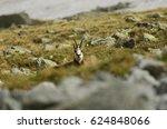 Small photo of Tatra Chamois, Rupicapra rupicapra tarica, High Tatras mountains, Tatra National Park, Slovakia