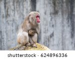 Japanese Macaque  Macaca...
