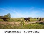 cows cross a wooden bridge on a ... | Shutterstock . vector #624959552