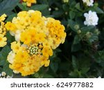 Colorful Of  Lantana Camara ...