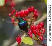 Small photo of Purple-banded sunbird in Kruger national park, South Africa ; Specie Cinnyris bifasciatus family of Nectariniidae