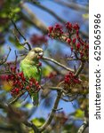 Small photo of Brown-headed parrot in Kruger national park, South Africa ; Specie Poicephalus cryptoxanthus family of Psittacidae