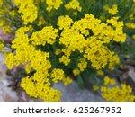 Small photo of Golden; Alyssum; saxatile