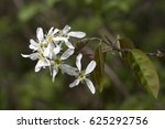 Small photo of Flowers of Snowy mespilus (Amelanchier lamarckii)