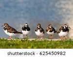 Ruddy Turnstone  Birds Posing