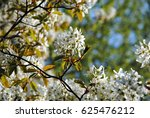 Small photo of White blossoming branches of juneberry or snowy mespilus or Amelanchier lamarckii