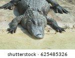 Small photo of American alligator (Alligator mississippiensis)