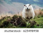 White Sheep  On A Welsh Mountain