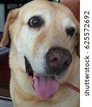 shy dog  labrador | Shutterstock . vector #625572692