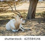 Antelope Addax  Addax...