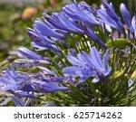 Agapanthus Flower Close Up....
