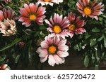 gazania ringens  kiss mahogany  ... | Shutterstock . vector #625720472