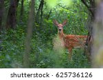White Tailed Deer Fawn In The...